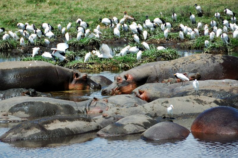 a pool of hippos complete with egrets