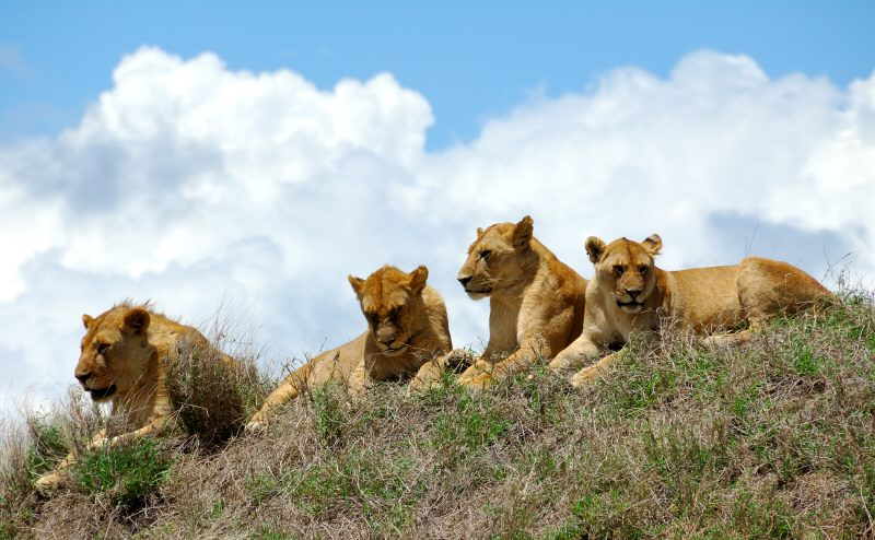 a pride of lions resting in the mid-day sun
