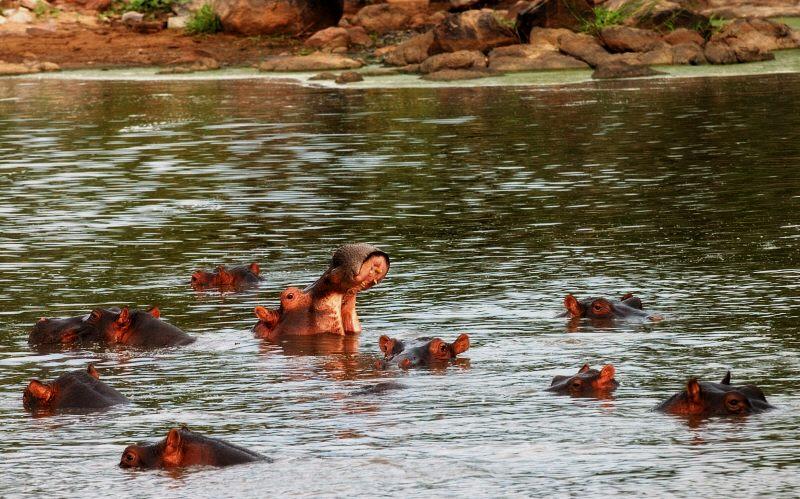 hippos in the Grumeti river