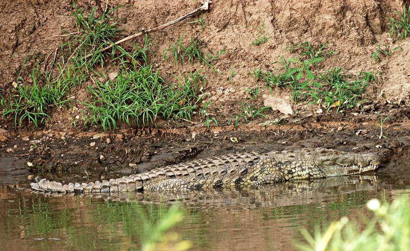crocodile in the Grumeti river