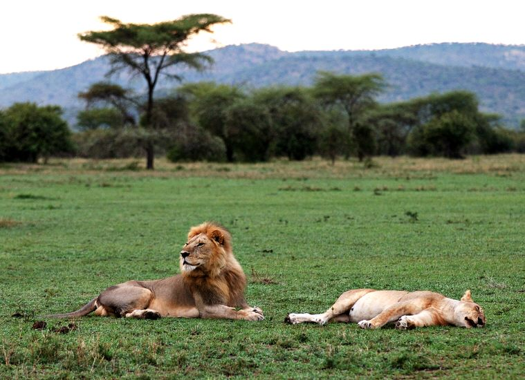 pair of mating lions