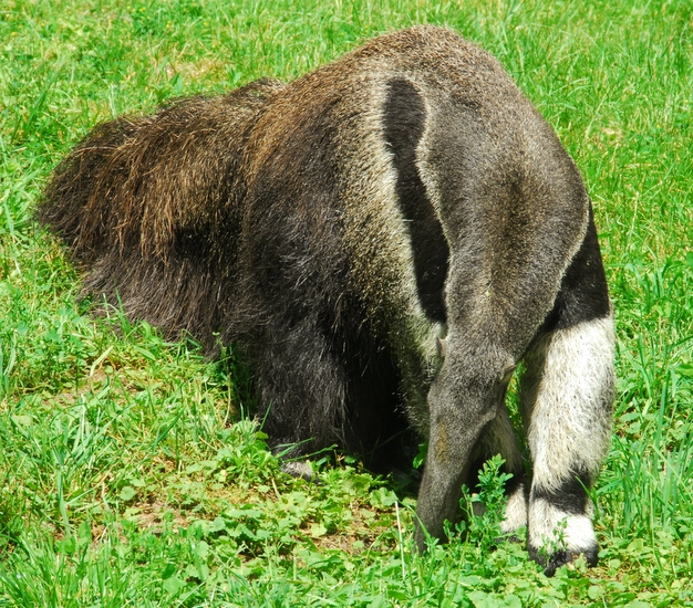 Close-Up Of An Anteater.  It Doesnt Get Any Better Than This!
