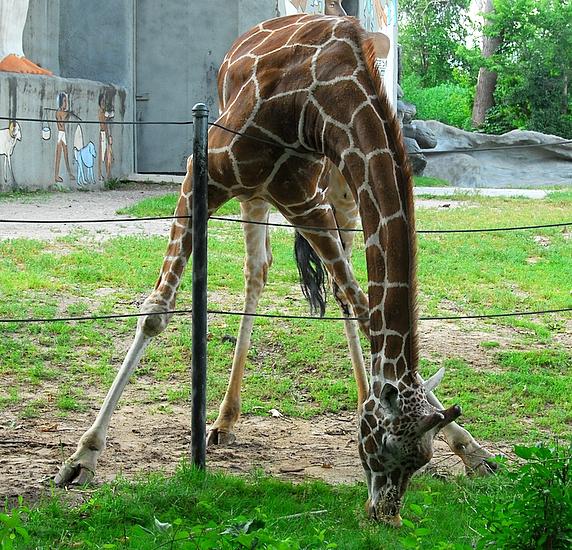 Giraffe With A Split Personality