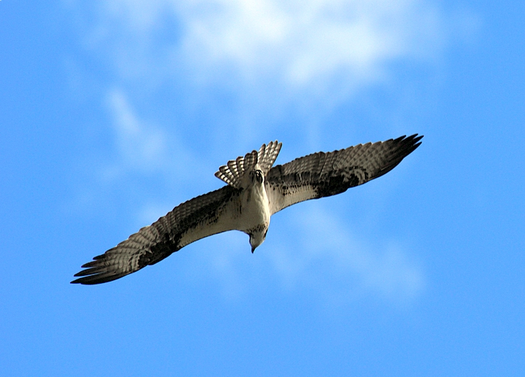 Osprey In Flight Over The Vermilion Lakes