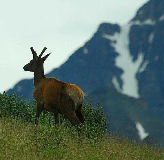 Elk On A Hillside