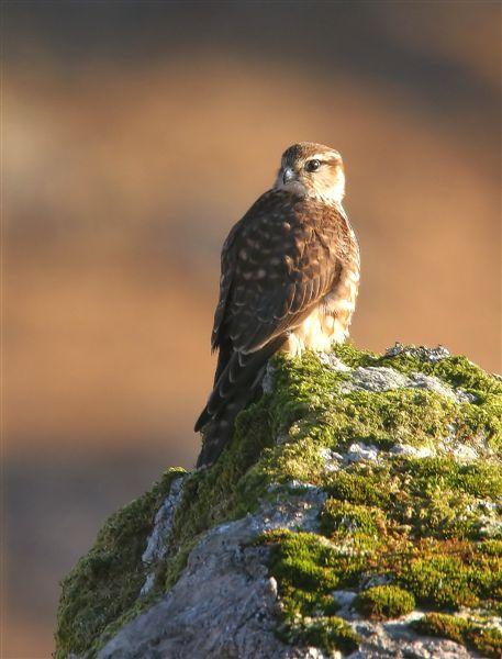 Merlin  Scotland