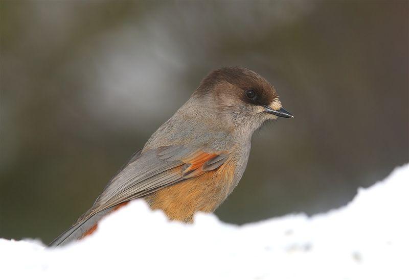Siberian Jay  Finland