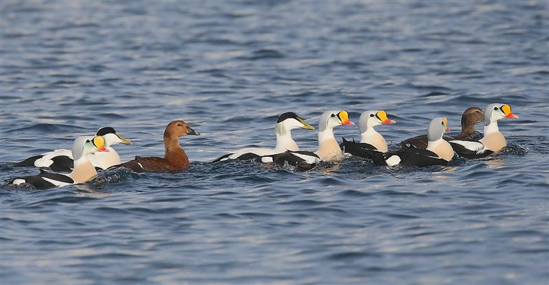 King Eider  Norway