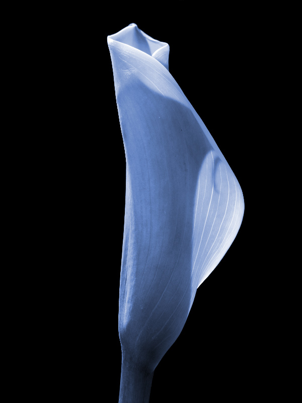 Calla in Blue by Robert Thornton