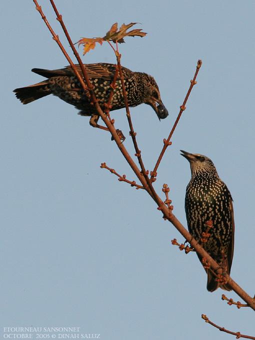 Etourneau sansonnet - Common Starling