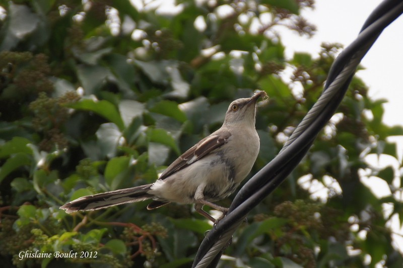 Moqueur polyglotte (Northern Mockingbird)