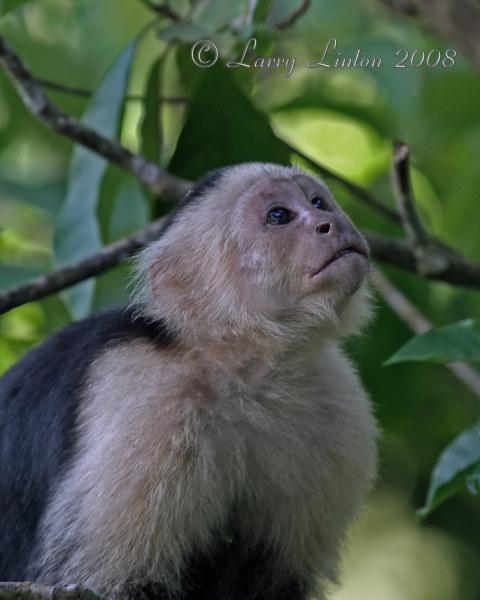 WHITE-FRONTED CAPUCHIN (Cebus capuchinus)  IMG_0271
