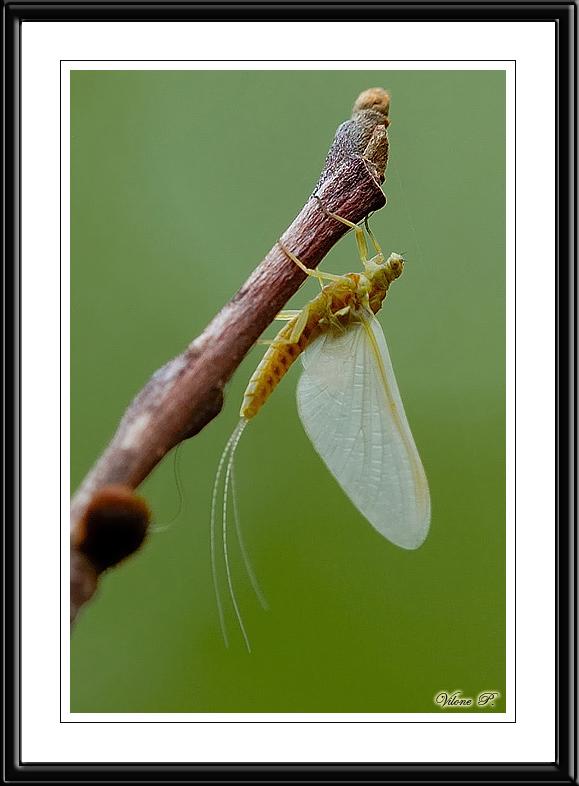 Golden Mayfly