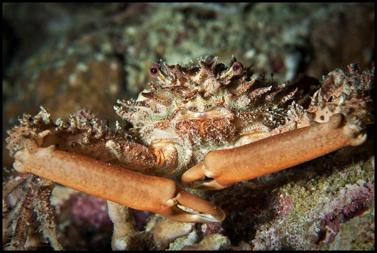 Crab at night