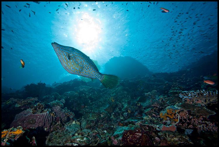 Filefish on Batu Bolong