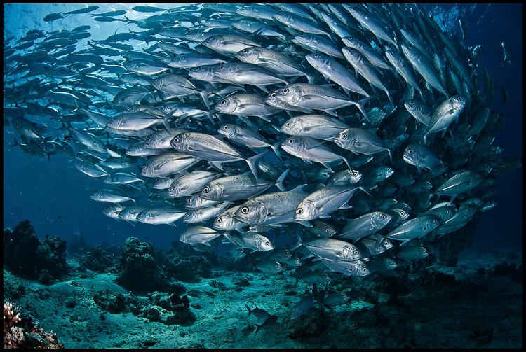 Jackfish school in the shallows 4