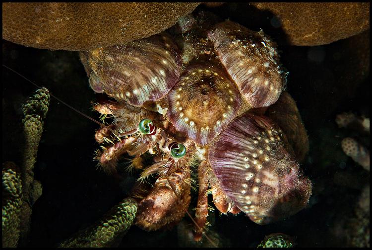 Anemone Decorator Hermit Crab