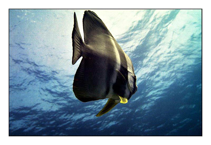 Maldivian batfish