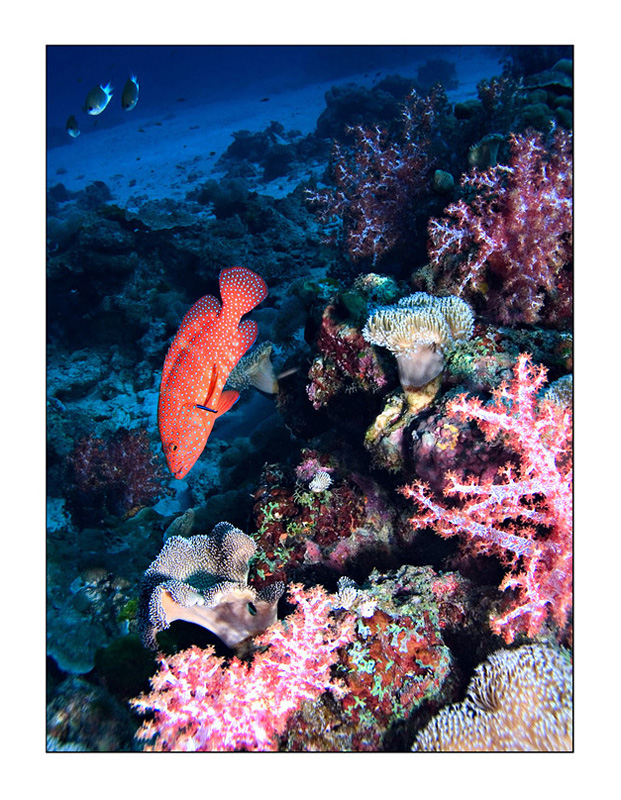 Vivid Similan grouper