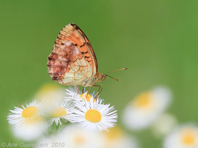 Marbled Fritillary - Braamparelmoervlinder - Brenthis daphne