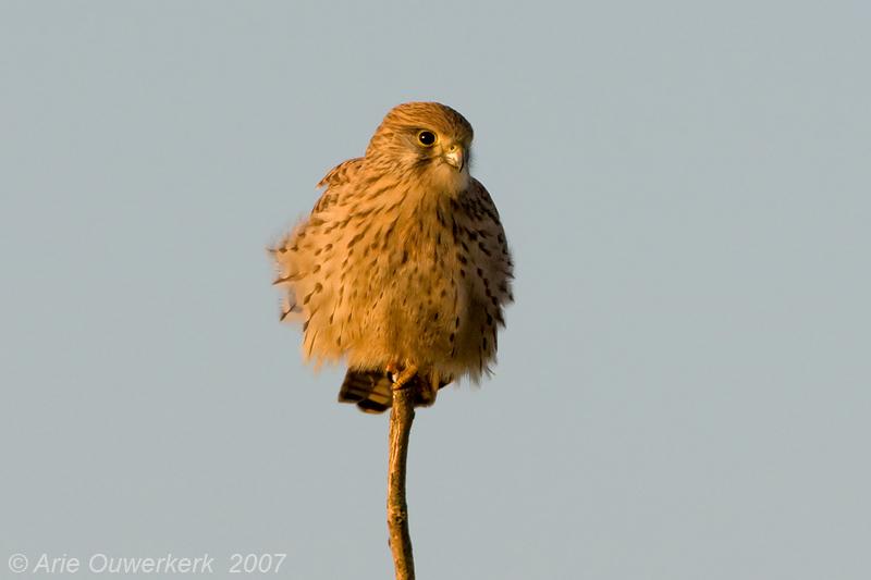 Common Kestrel - Torenvalk - Falco tinnunculus