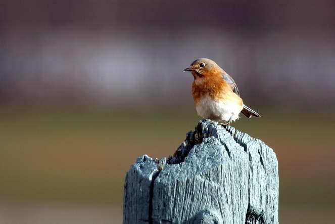 Bluebird in December at Battlefield Park.jpg