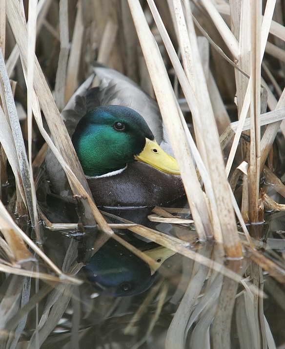 Up Yonda duck 3.jpg