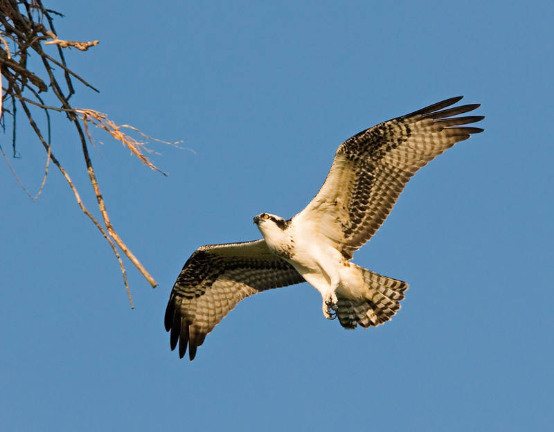 Osprey in Flight 16
