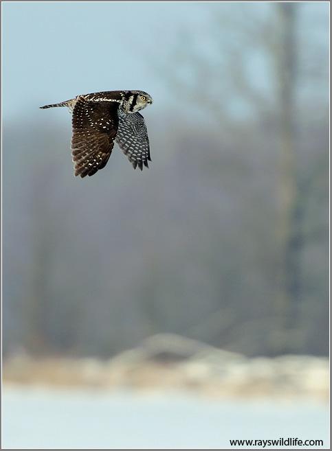 Northern Hawk Owl in Flight 38