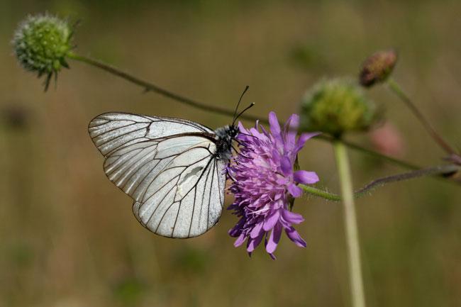 20 - Papillon blanc Vanoise