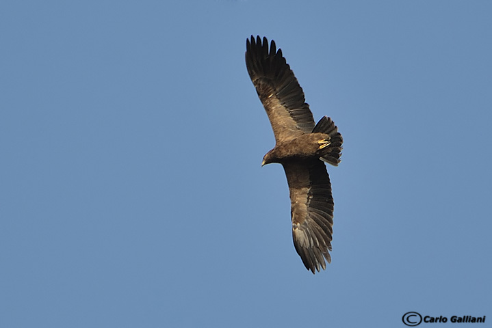 Aquila anatraia maggiore- Greater Spotted Eagle (Aquila clanga)