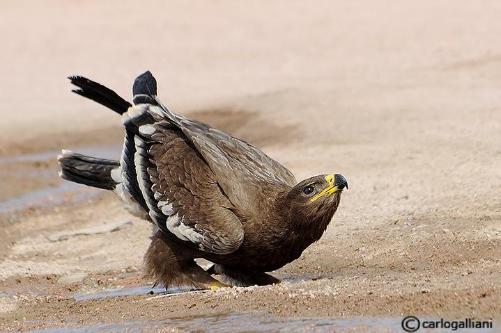 Aquila delle steppe (Aquila nipalensis)