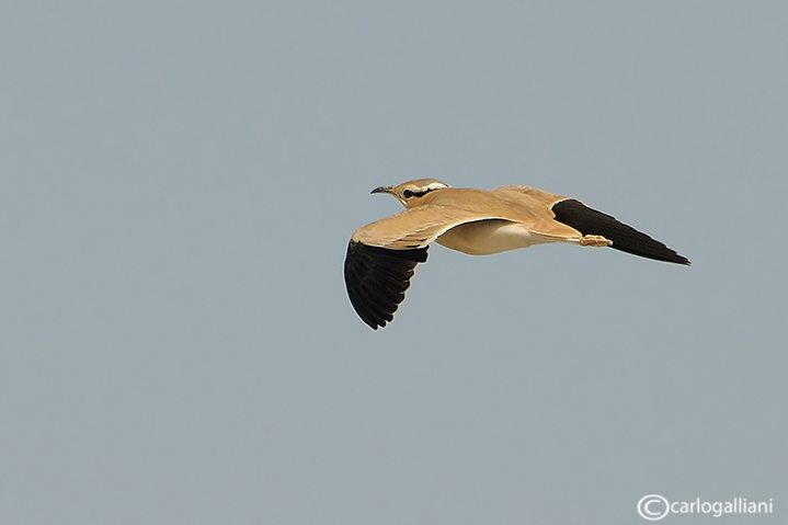 Corrione biondo-Cream-colored Courser  (Cursorius cursor)