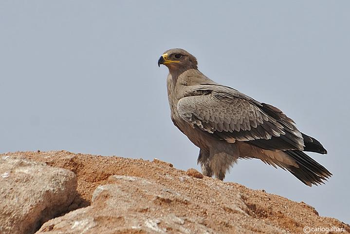 Aquila delle steppe(Aquila nipalensis)