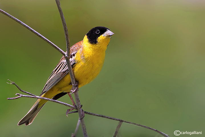 Zigolo capinero -Black-headed Bunting (Emberiza melanocephala)