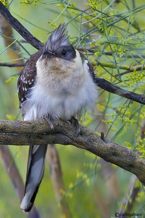 Cuculo dal ciuffo-Great Spotted Cuckoo  (Clamator glandarius)