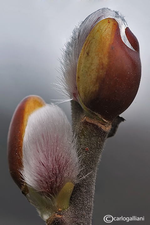 Salix gems