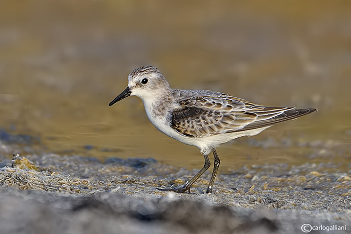 Gambecchio-Little Stint (Calidris minuta)
