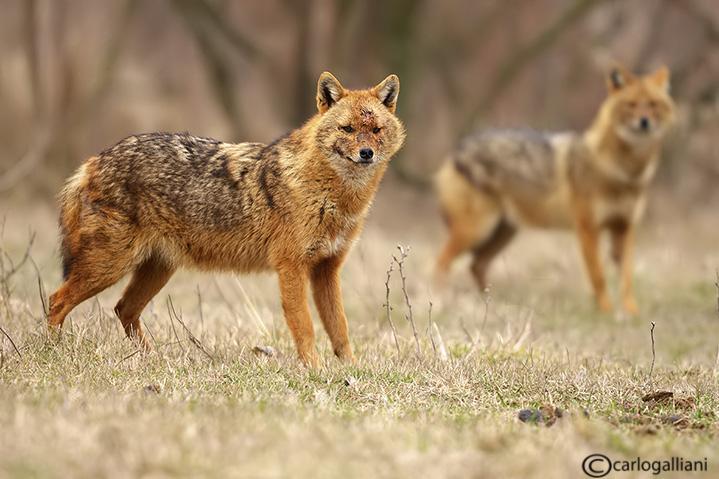 Sciacallo dorato -Golden jackal (Canis aureus) Male and Female