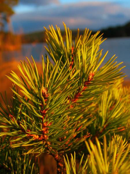 Young Scots Pine
