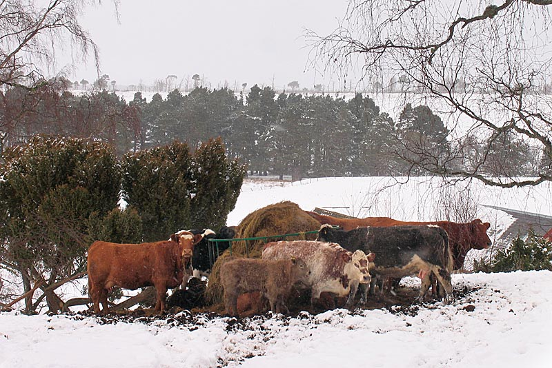 2nd March Cold Cows