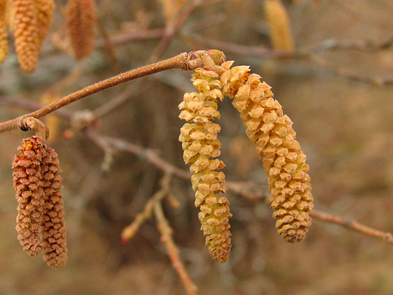 7th April Catkins