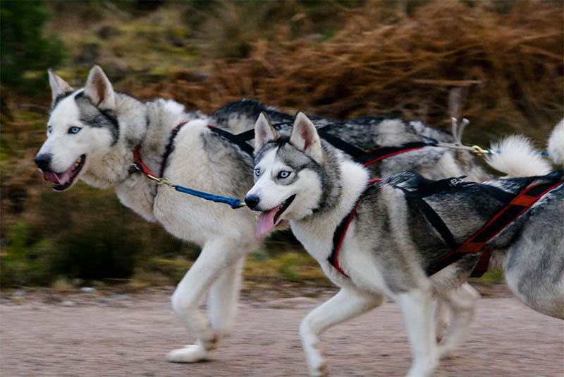 25th Husky Race