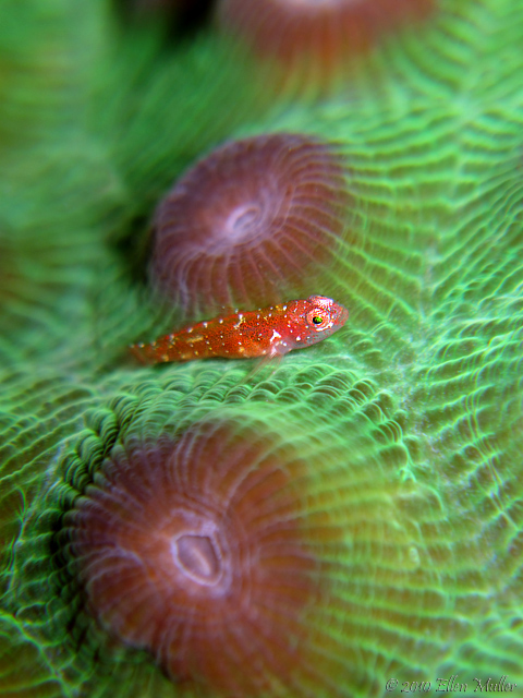 Pygmy Goby on Green