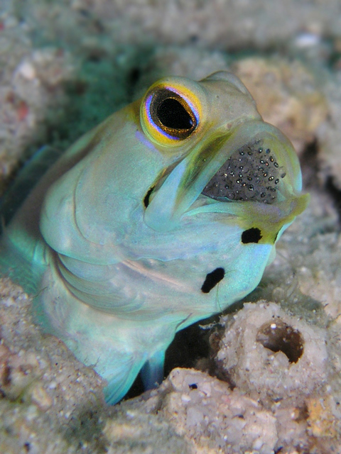 Male Yellowhead Jawfish with Eggs