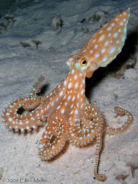 Moonwalking Octopus