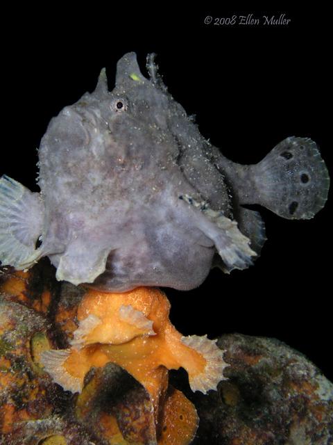 Frogfish Spawning