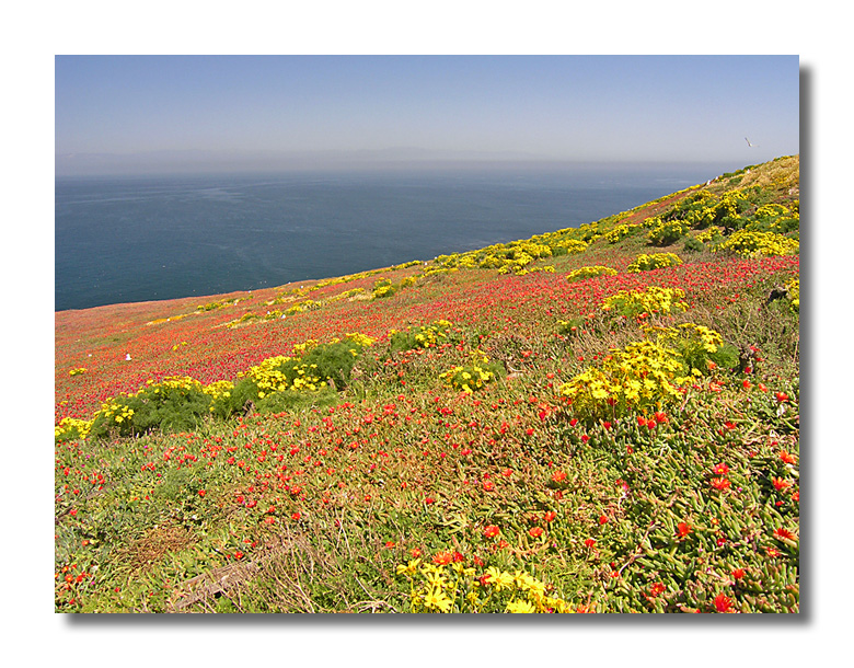 Anacapa Wildflowers
