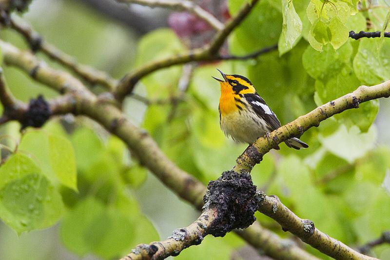 blackburnian warbler 060510_MG_8334
