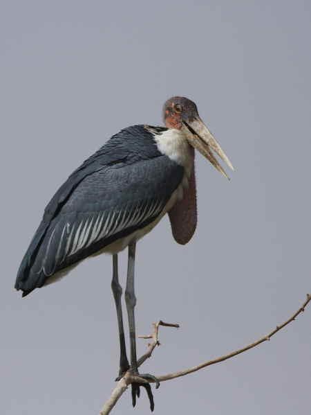 Marabou Stork, Lake Langano